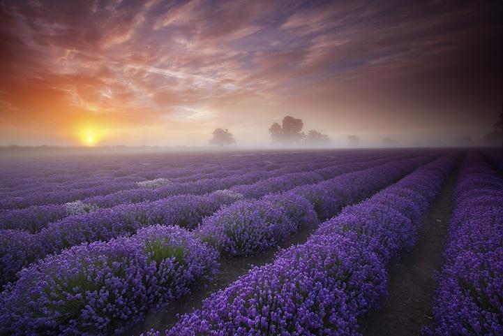 lavenderfields1
