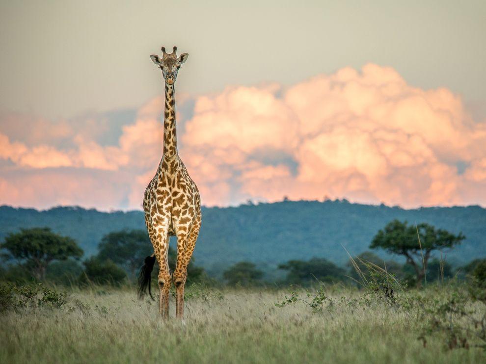 giraffe-sunset-tanzania_68753_990x742
